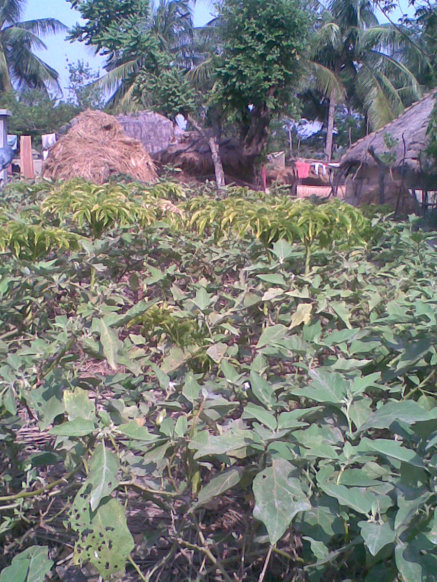 Summer vegetables grown in Kachukhali island, South 24 Parganas, West Bengal